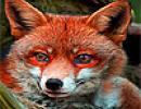 Curious Fox