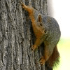 Climbing Squirrel Jigsaw