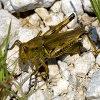 Grasshopper Jigsaw