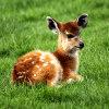 Baby Antelope Jigsaw