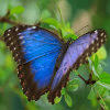 Blue Butterfly Jigsaw