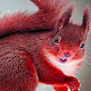 Red Summer Squirrels
