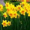 Daffodil Jigsaw