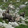 Alpine Ibex Jigsaw